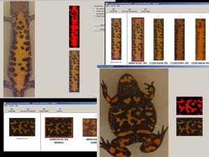 Spot patterns of Triturus cristatus and Bombina bombina for pattern matching photo-identification.