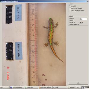 Image processing of Triturus cristatus for length measurement.