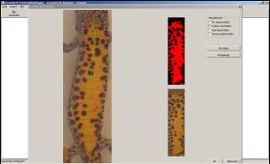 Bauchfleckenmuster des Kammolchs zur automatischen Photo-Identifizierung.
